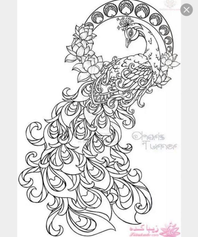 طرح های خام طاووس طرح های خام طاووس برای نقاشی                   768x923