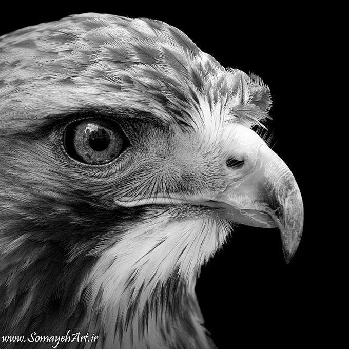 مدل نقاشی انواع پرنده مدل نقاشی انواع پرنده